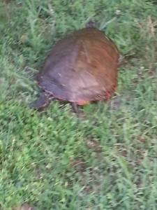 Sprinting Turtle